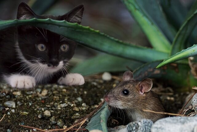 猫とネズミの写真