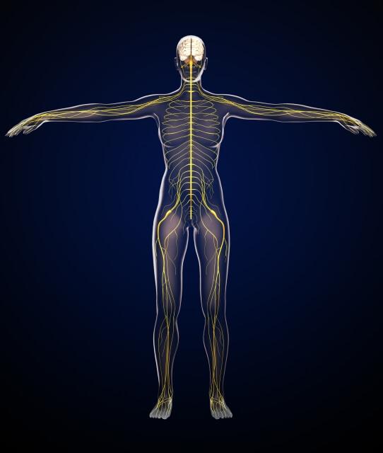 人体のイメージ