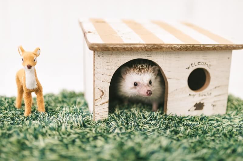 小屋から顔を出すハリネズミ